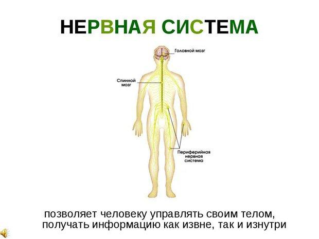 Схема нервов