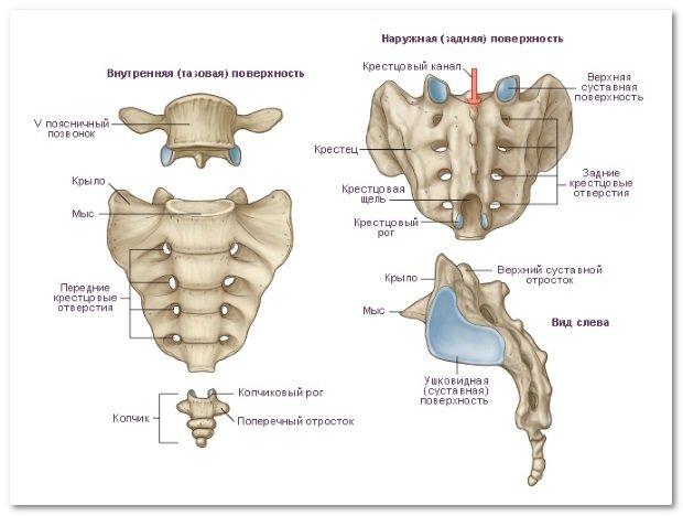Анатомия крестца