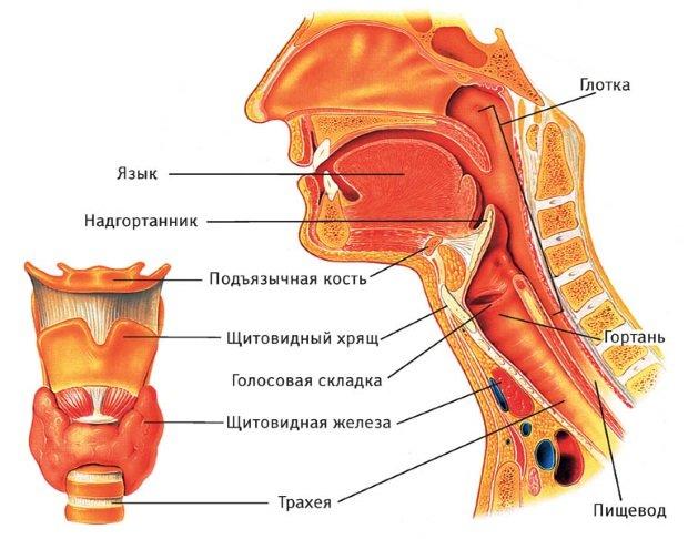 Схема расположения органов