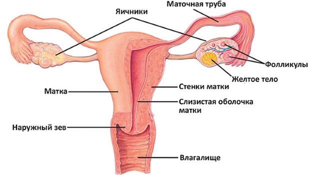 Строение женских органов