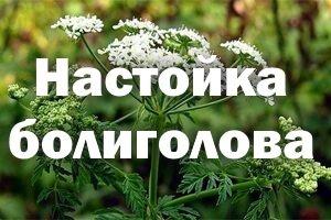 болиголова растение