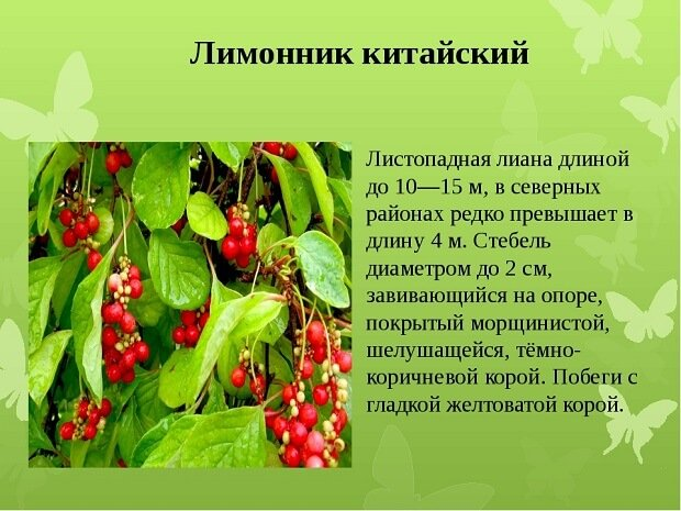 описание лимонника