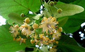 цветки липового чая