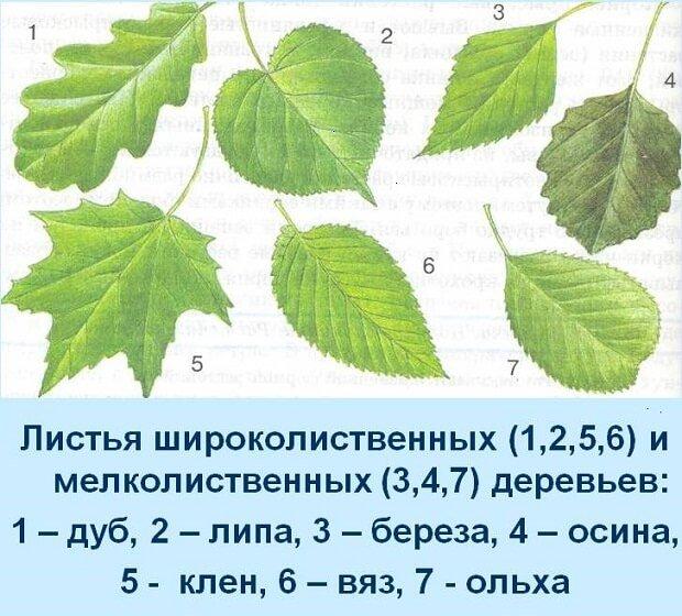 Различия листьев деревьев