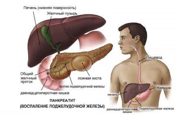 Расположение органов