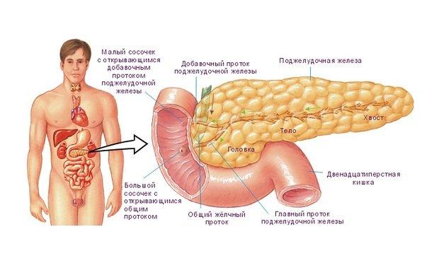 Составные части железы