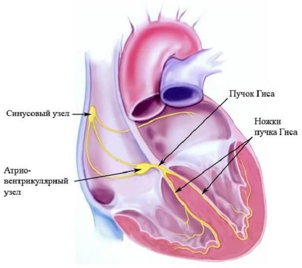 Проводящие пути сердца