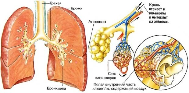 Строение легких