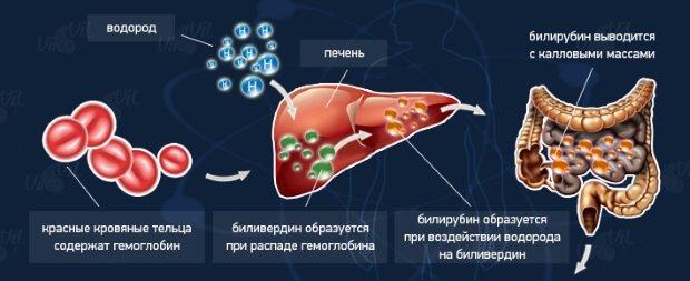 Образование билирубина в крови
