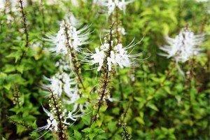 листья ортосифона тычечного
