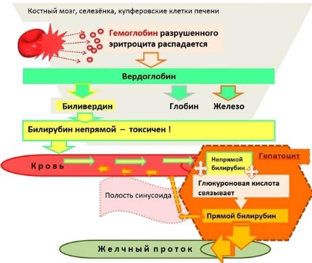 Распад билирубина в крови