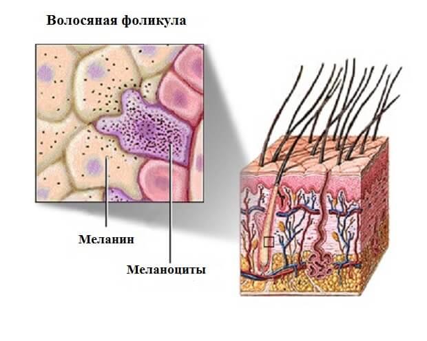 расположение меланина