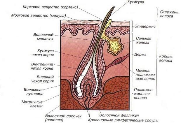 Волосяная луковица