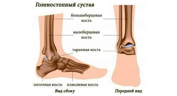 Кости голени и стопы