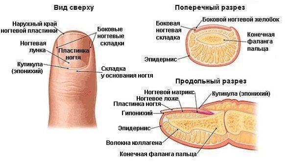 Архитектура ногтевой пластины