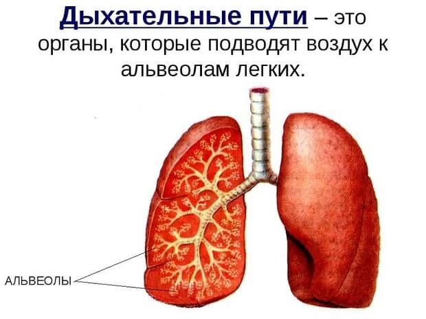 Дыхательные пути
