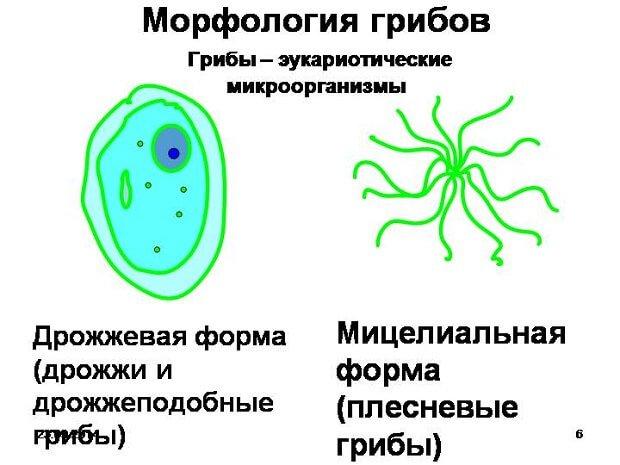 Морфология грибов