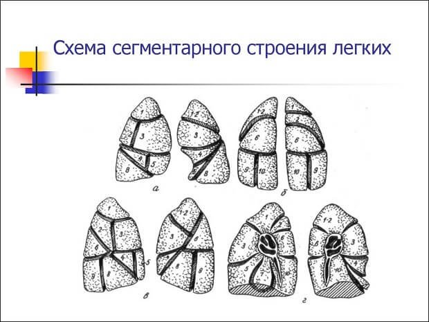 Схема строения легких