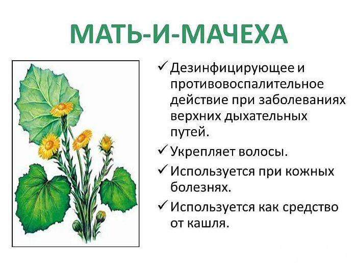 Применение растения в медицине