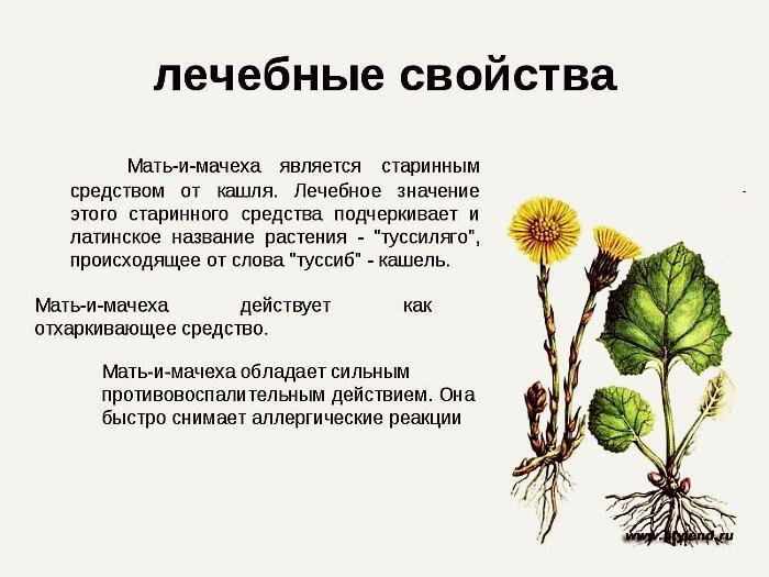 Целебные свойства растения