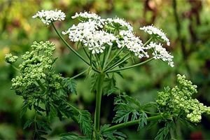 Лечебное растение болиголов