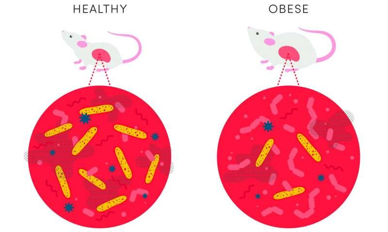 Бактерия в животе у мышки