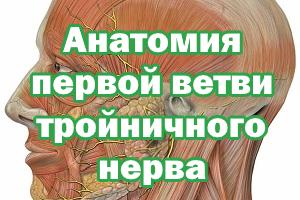 Анатомия первой ветви тройничного нерва